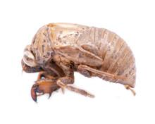 Cicada Nymph Shell (exuvum) Is...