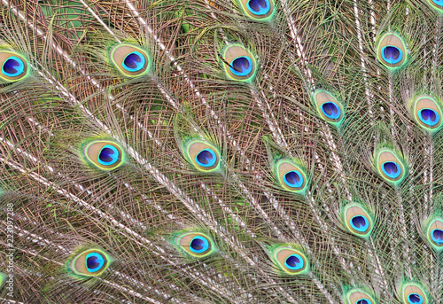 Foto op Aluminium Pauw Peacock's feathers