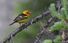 A Male Western Tanager (Pirang...