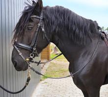 Friesian Horse Portrait .