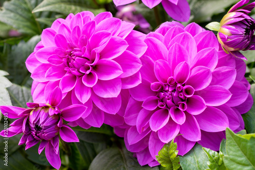 Cuadros en Lienzo Beautiful Purple dahlia fresh flower blossoming in the garden
