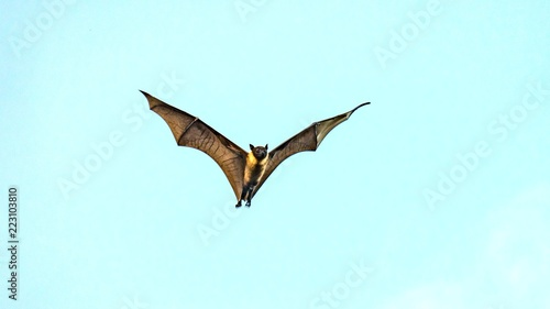 Fruit bat, flying fox (flying dog) flying, Maldives.