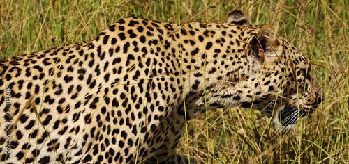 Tuinposter Luipaard Leopard in Serengeti