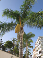 Palm Tree With Fresh Seed Pods