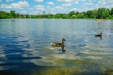 Ducks On A Lake In Summer With...
