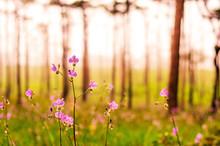 Purple Flowers Field In Pine T...