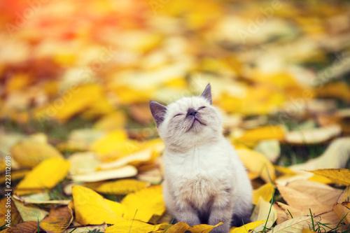 Little siamese kitten walking outdoor on the fallen leaves in the autumn garden