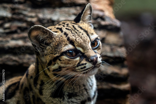 Margay, Leopardis wiedii