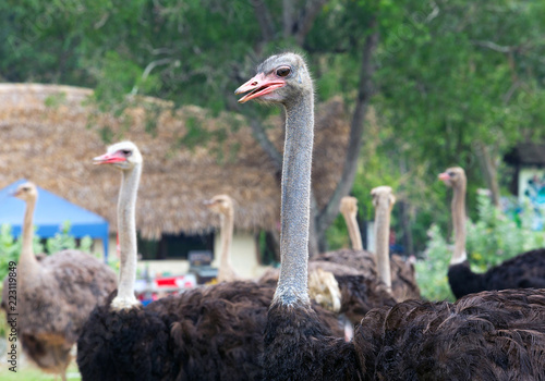 Ostrich on the farm.