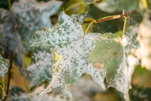 Valokuvatapetti Powdery mildew on foliage of Acer tataricum or Tatarian maple