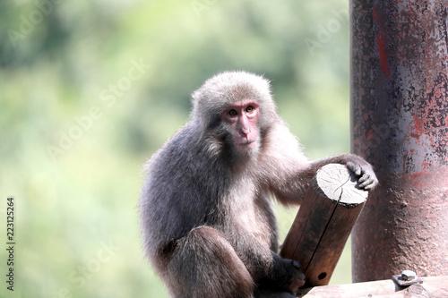 Foto op Plexiglas Aap サル 日本猿 ヤクニホンザル 猿