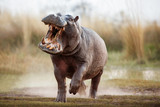 Fototapeta Zwierzęta - Aggressive hippo male attacking the car. Huge hippo male intimidating the opponent. Wild animal in the nature habitat. African wildlife. This is Africa. Hippopotamus amphibius.
