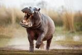 Fototapeta Animals - Aggressive hippo male attacking the car. Huge hippo male intimidating the opponent. Wild animal in the nature habitat. African wildlife. This is Africa. Hippopotamus amphibius.