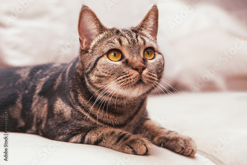 Fototapeta British Short hair cat with bright yellow eyes sitting on the blurred sofa. Tebby color, indoors, light obraz na płótnie