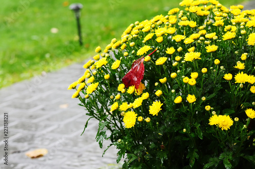 Photo Flowers of the yellow autumn chrysanthemum and autumn firs in the garden