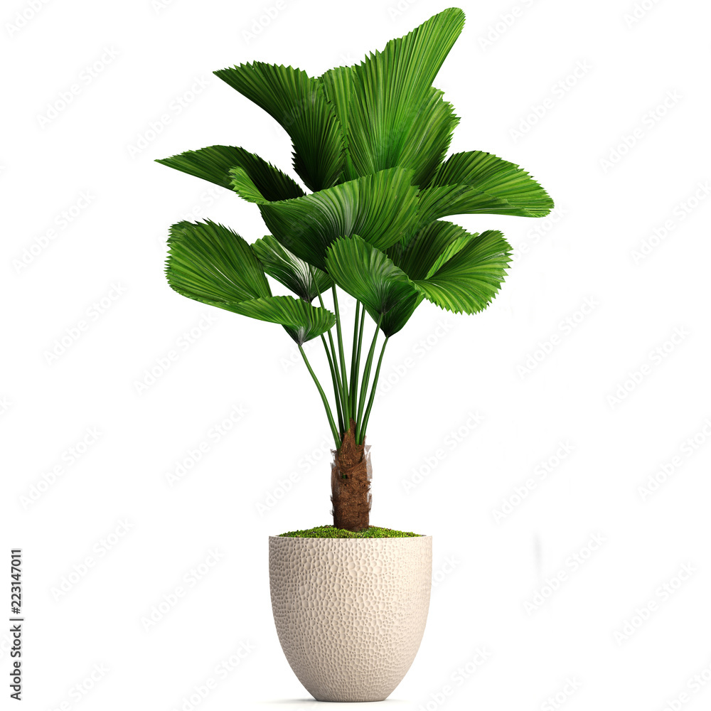 Fototapety, obrazy: Licuala orbicularis