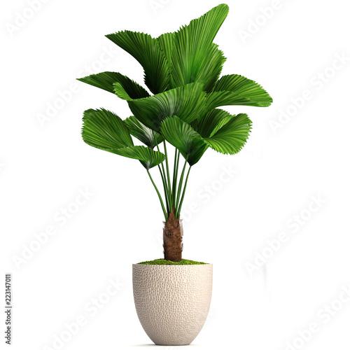 Foto auf AluDibond Pflanzen Licuala orbicularis