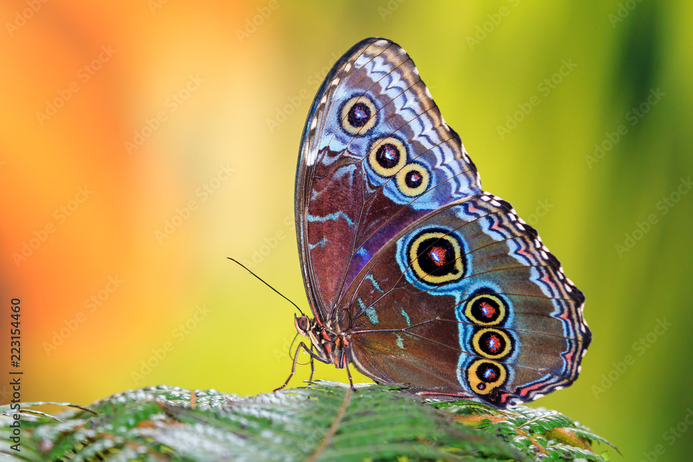 Fototapeta Morpho menelaus, the Menelaus blue morpho, is an iridescent tropical butterfly of Central and South America