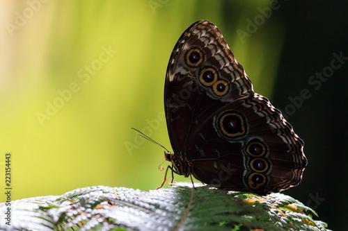 Fotografie, Obraz  Morpho menelaus, the Menelaus blue morpho, is an iridescent tropical butterfly o