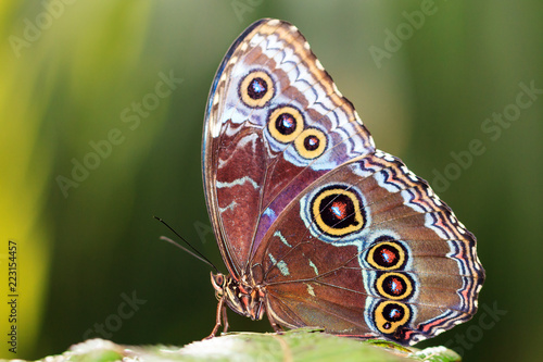 Obraz na plátne Morpho menelaus, the Menelaus blue morpho, is an iridescent tropical butterfly o