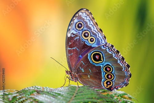 La pose en embrasure Papillon Morpho menelaus, the Menelaus blue morpho, is an iridescent tropical butterfly of Central and South America