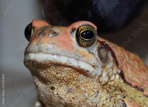 Tuinposter Kikker Natal sand frog close up