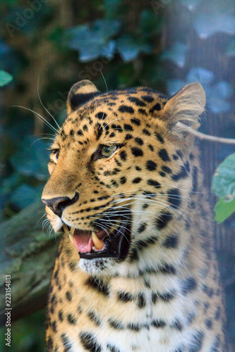 Foto op Aluminium Luipaard Close up portrait of the critically endangered Amur leopard (Panthera pardus orientalis), native to southeastern Russia and northeast China