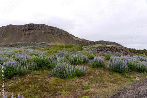 Fotobehang Wit Beautiful landscape with mountains and lupins in Iceland