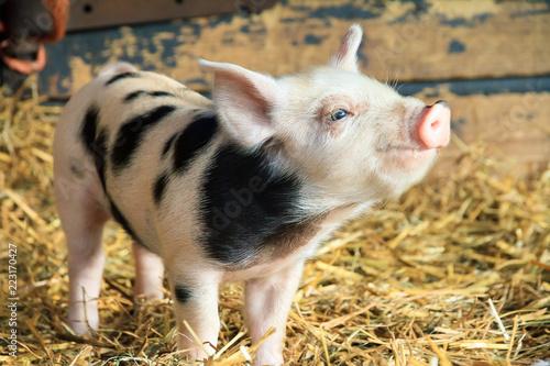 Fotografie, Obraz Very cute little newborn piggy pig (sus scrofa) in a petting zoo in the Netherla