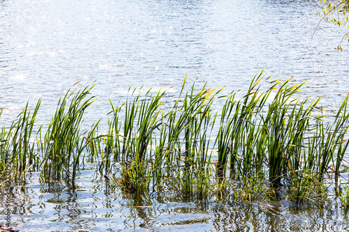 Valokuvatapetti cane leaves in water of pond illuminated by sun