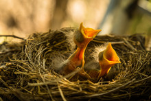 Baby Robin In Nest