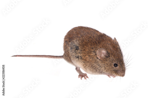 Cuadros en Lienzo  Bank Vole, Field Mouse (Clethrionomys glareolus), isolated on White Background