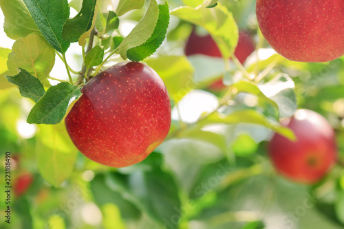 Fototapeta Ripe apples with green foliage of apple trees in the background. obraz