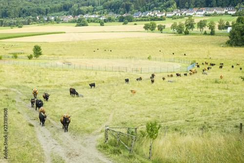 Fényképezés  Herd or Flock of  aurochs