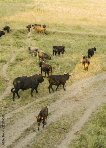 Valokuva  Herd or Flock of  aurochs