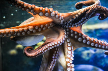 Octopus Mit Saugnäpfen Tropen Tauchen Meer Ozean