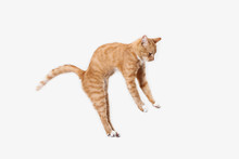 The Red Serious Cat Isolated O...