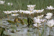 Wagtail with lotus flowers