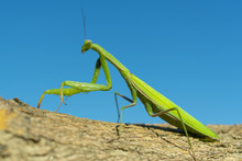 Green Mantis Closeup On Blue S...