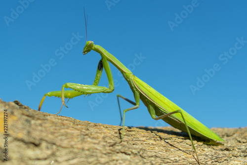 Fotografie, Obraz  green mantis closeup on blue sky background on brown bark of tree