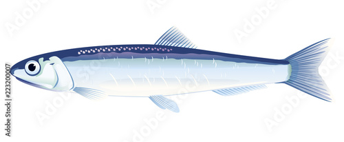 European Anchovy Fish Canvas Print