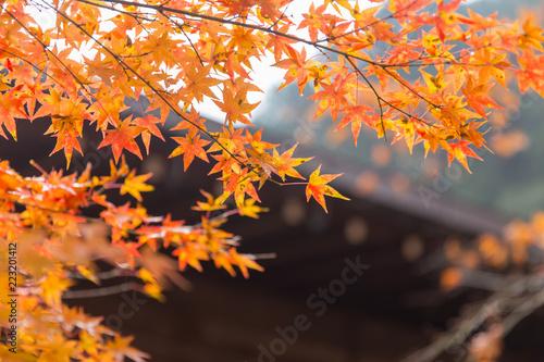 Campagne autumn maple leaf nature travel scene in fall season in Tokyo