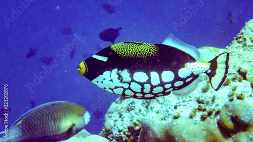Stampa su Tela Clown triggerfish in the indian ocean, Maldives.