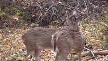 Two Whitetail Deer Does Closeup