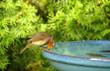 Leinwandbild Motiv Garten,Rotkehlchen,Vogeltränke