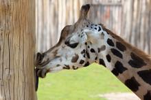 Giraffe Knutscht Und Leckt Pfahl