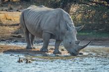A Cute White Bull Rhino Drinking Water In Makorwane Dam Hide In PIlanesberg North West Province South Africa