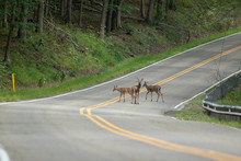 Deer In Middle Of The Main Road
