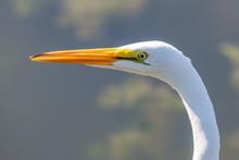 Egret In Nature