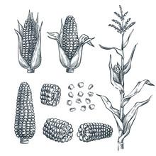 Corn Cobs, Grain, Vector Sketc...